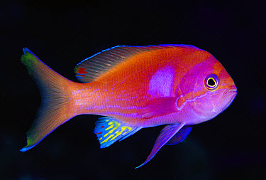 Squarespot Anthias (Pseudanthias pleurotaenia) male 50 feet deep, Papua New Guinea  -  Chris Newbert