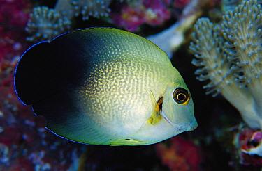 Pearl-scaled Angelfish (Centropyge vroliki) 40 feet deep, Papua New Guinea  -  Chris Newbert