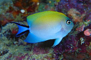Blackspot Angelfish (Genicanthus melanospilos) female, 60 feet deep, Papua New Guinea  -  Chris Newbert
