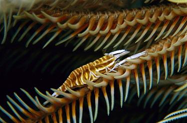 Ambon Shrimp (Periclimenes amboinensis) on Crinoid, 40 feet deep, Solomon Islands  -  Chris Newbert