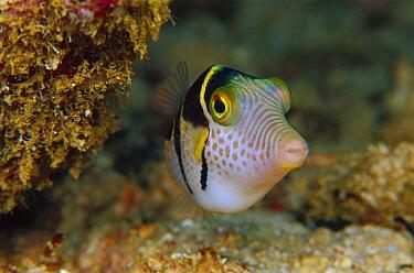 Puffer Fish (Canthigaster sp) 70 feet deep, Solomon Islands  -  Chris Newbert