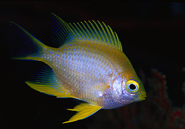 Golden Damselfish (Amblyglyphidodon aureus) 40 feet deep, Solomon Islands  -  Chris Newbert