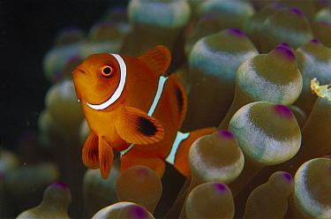Spine-cheek Anemonefish (Premnas biaculeatus) juvenile, 40 feet deep, Solomon Islands  -  Chris Newbert