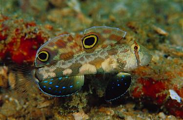 Signal Goby (Signigobius biocellatus) 30 feet deep, Solomon Islands  -  Chris Newbert