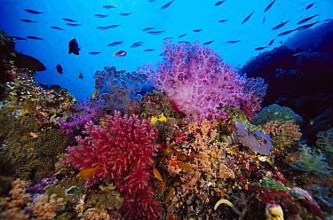 Reef scenic, 80 feet deep, Solomon Islands  -  Chris Newbert