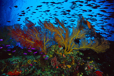 Sea Fan (Melithaea sp) 70 feet deep, Papua New Guinea  -  Chris Newbert