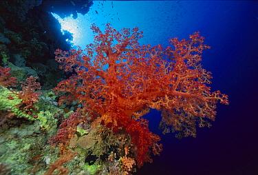 Soft Coral (Dendronephthya sp) outcroppings 60 feet deep, Solomon Islands  -  Chris Newbert