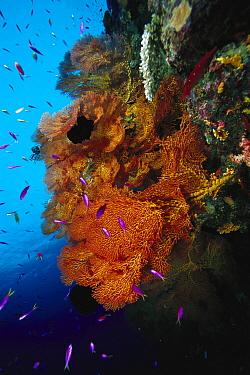 Sea Fan (Melithaea sp) and Basslet (Pseudanthias sp) 80 feet deep, Solomon Islands  -  Chris Newbert