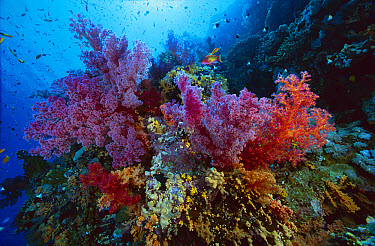 Soft Coral outcropings (Dendronephthya sp) and Anthias fish on coral reef, 50 feet deep, Red Sea, Egypt  -  Chris Newbert