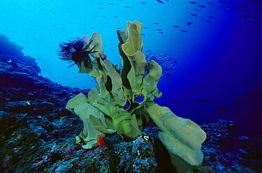 Elephant Ear Sponge (Ianthella basta) with Crinoid attached, 70 feet deep, Solomon Islands  -  Chris Newbert