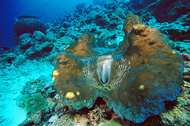 Giant Clam (Tridacna gigas) world's largest and heaviest mollusk, 10 feet deep off of Solomon Islands  -  Chris Newbert