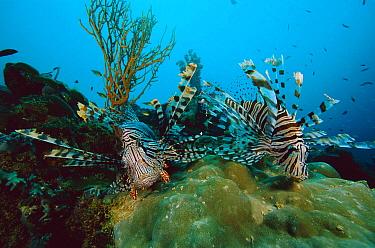 Lionfish (Pterois sp) pair swimming over coral reef, venomous reef fish, 20 feet deep off of the Solomon Islands  -  Chris Newbert