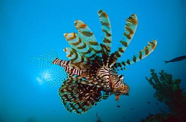 Lionfish (Pterois sp) swimming over coral reef, venomous reef fish, 20 feet deep off of the Solomon Islands  -  Chris Newbert