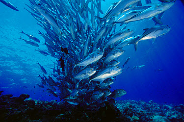 Bigeye Trevally (Caranx sexfasciatus) school, 40 feet deep, Solomon Islands  -  Chris Newbert