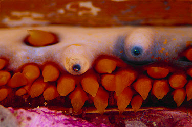 Thorny Oyster (Spondylus varius) detail showing multiple blue eyes, 30 feet deep, Solomon Islands  -  Chris Newbert