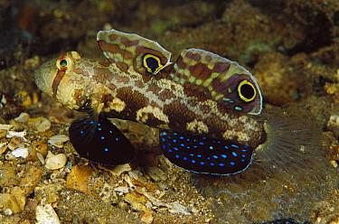 Signal Goby (Signigobius biocellatus) 40 feet deep, Solomon Islands  -  Chris Newbert