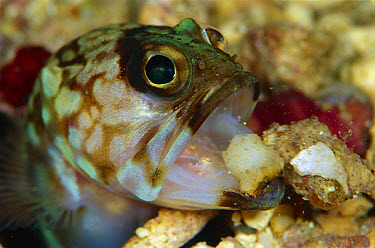 Jawfish (Opisthognathidae) maintaining burrow, 80 feet deep, Solomon Islands  -  Chris Newbert