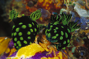 Nudibranch (Chromodoris sp) group, 60 feet deep, Solomon Islands  -  Chris Newbert