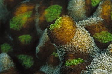 Porous Lettuce Coral (Oxypora glabra) detail, 40 feet deep, Solomon Islands  -  Chris Newbert