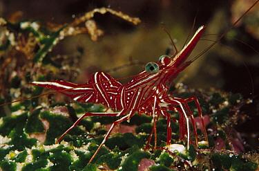 Rabbitnose Shrimp (Rhynchocinetes sp) 70 feet deep, Solomon Islands  -  Chris Newbert