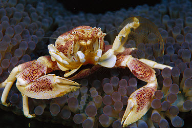 Spotted Anemone Crab (Neopetrolisthes maculatus) feeding on plankton with feather net arms, 50 feet deep, Papua New Guinea  -  Chris Newbert