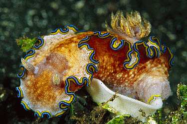 Nudibranch (Glossodoris sp) laying egg ribbon, 50 feet deep, Papua New Guinea  -  Chris Newbert