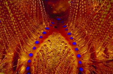 Radiant Sea Urchin (Astropyga radiata) detail, 80 feet deep, Papua New Guinea  -  Chris Newbert