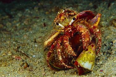 Hermit Crab (Dardanus sp) riding on large Hermit Crab (Dardanus sp) which is grabbing a Cone Shell, 60 feet deep, Papua New Guinea  -  Chris Newbert