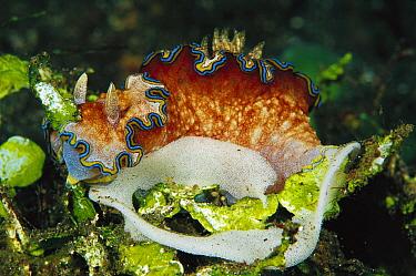 Nudibranch laying eggs, 60 feet deep, Papua New Guinea  -  Chris Newbert