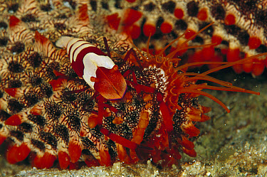 Emperor Shrimp (Periclimenes imperator) on Sea Star, 90 feet deep, Papua New Guinea  -  Chris Newbert