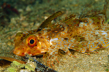 Oriental Flying Gurnard (Dactyloptena orientalis) 60 feet deep, Papua New Guinea  -  Chris Newbert