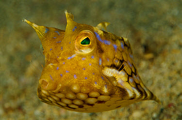 Cowfish (Lactoria sp) juvenile, 60 feet deep, Papua New Guinea  -  Chris Newbert