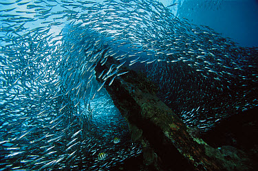 Baitfish, schooling around piling under pier, 10 feet deep, Papua New Guinea  -  Chris Newbert