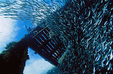 Baitfish schooling under pier, 10 feet deep, Papua New Guinea  -  Chris Newbert