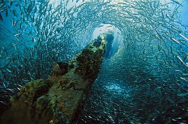 Baitfish schooling around piling, 10 feet deep, Papua New Guinea  -  Chris Newbert