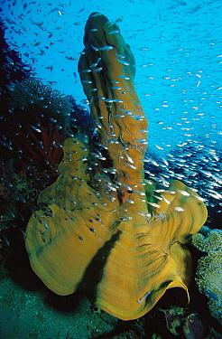Elephant Ear Sponge (Ianthella basta) and baitfish, 80 feet deep, Papua New Guinea  -  Chris Newbert