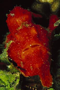 Frogfish (Antennarius sp) 30 feet deep, Papua New Guinea  -  Chris Newbert