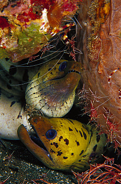 Moray Eel (Muraenidae) pair surrounded by Camel Shrimp (Rhynchocinetes uritai) 70 feet deep, Papua New Guinea  -  Chris Newbert