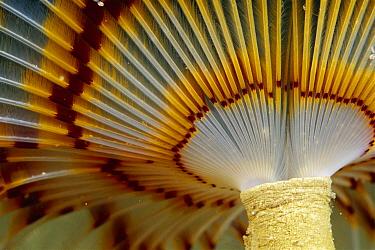 Feather Duster Worm (Eudistylia vancouveri) 50 feet deep, Papua New Guinea  -  Chris Newbert