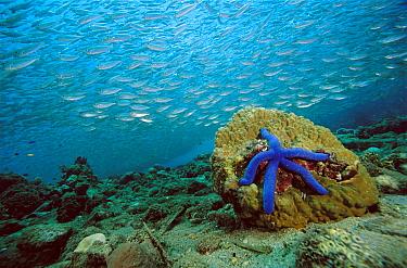 Blue Sea Star (Linckia laevigata) and schooling baitfish, 20 feet deep, Papua New Guinea  -  Chris Newbert