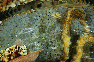 Octopus (Octopus sp) eggs in jar, 50 feet deep, Papua New Guinea  -  Chris Newbert
