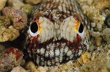Bobtail Squid (Euprymna tasmanica) hiding in the ocean floor at night, 50 feet deep, Papua New Guinea  -  Chris Newbert