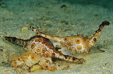 Elongated Egg Cowry (Volva volva) pair feeding on soft coral, Papua New Guinea  -  Chris Newbert
