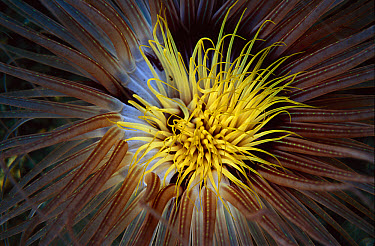 Tube-dwelling Anemone (Cerianthus sp) with tentacles extended to feed, Papua New Guinea  -  Chris Newbert