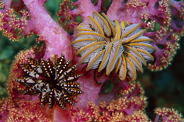 Feather Star pair on soft coral, Papua New Guinea  -  Chris Newbert