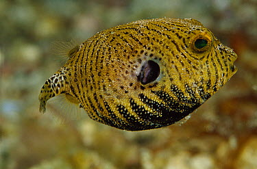 Starry Pufferfish (Arothron stellatus) juvenile, Papua New Guinea  -  Chris Newbert