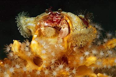 Hermit Crab (Dardanus sp) with anemone covered shell, Papua New Guinea  -  Chris Newbert
