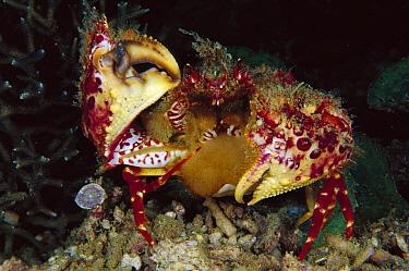 Box Crab (Calappa sp) female with eggs, Papua New Guinea  -  Chris Newbert