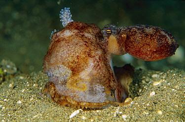 Octopus (Octopus sp) female surrounding egg clutch, Papua New Guinea  -  Chris Newbert