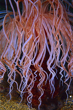 Tube-dwelling Anemone, detail of tentacles, Indonesia  -  Birgitte Wilms